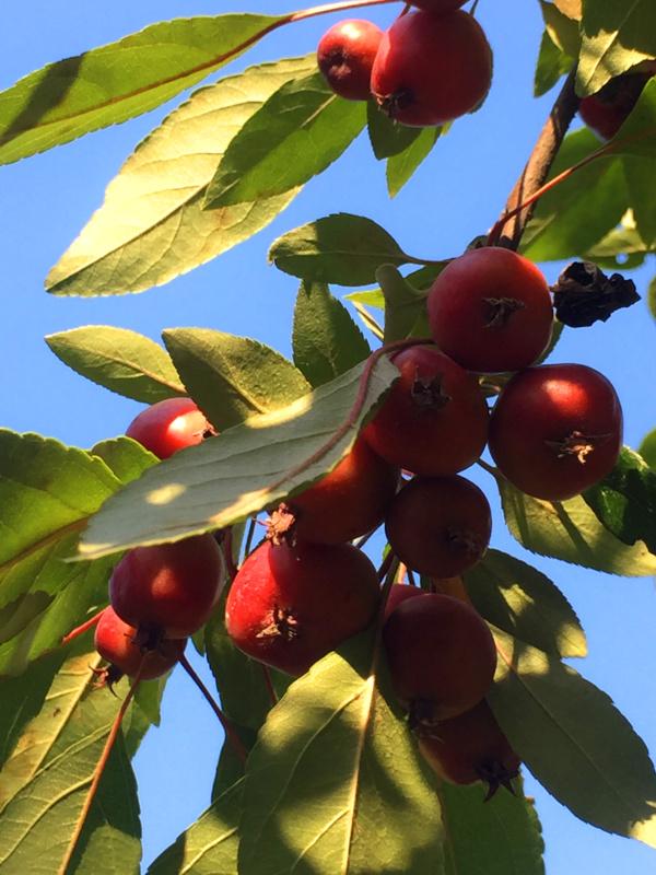 Tod im Apfelbaum