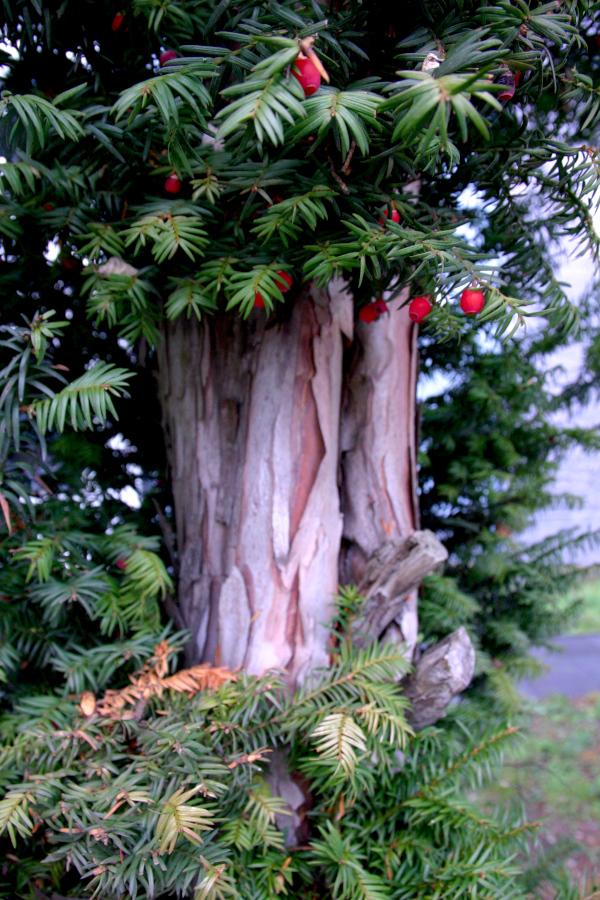 Eibenwesen Totenbaum